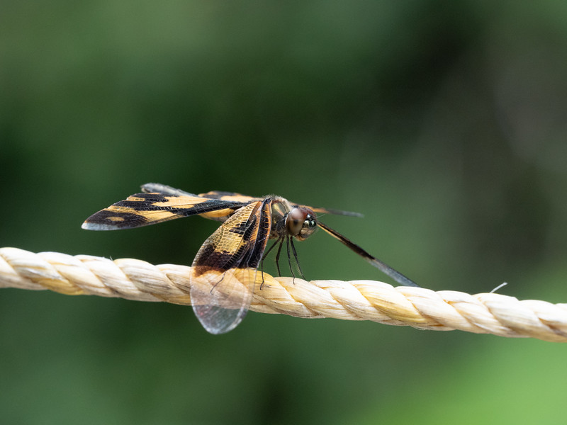 Common Picture Wing (Odonata: Rhyothemis variegata)