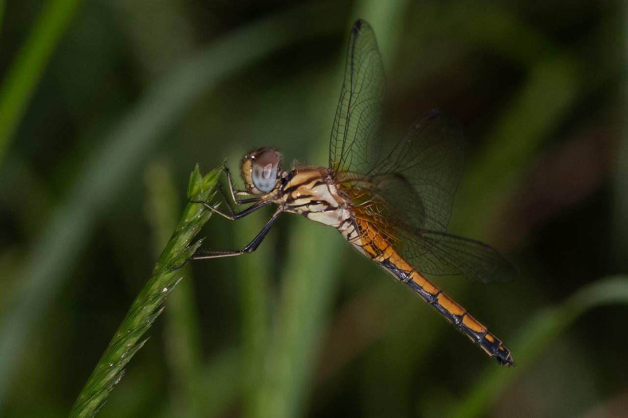 Grounf Skimmer (Odonata)