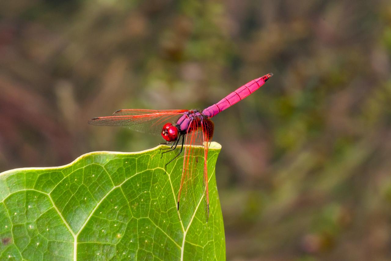 Crimson Marsh Glider (Odonate: Trithemis aurora)