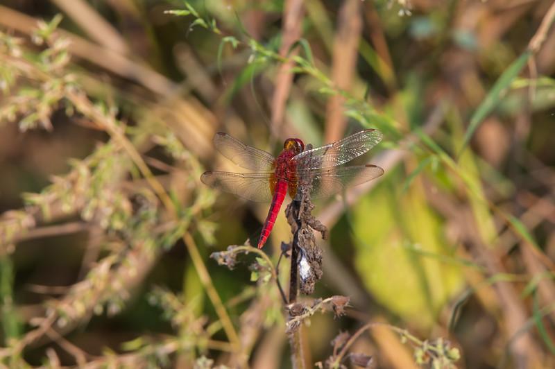 Crimson Marsh Glider (SO: Anisoptera)