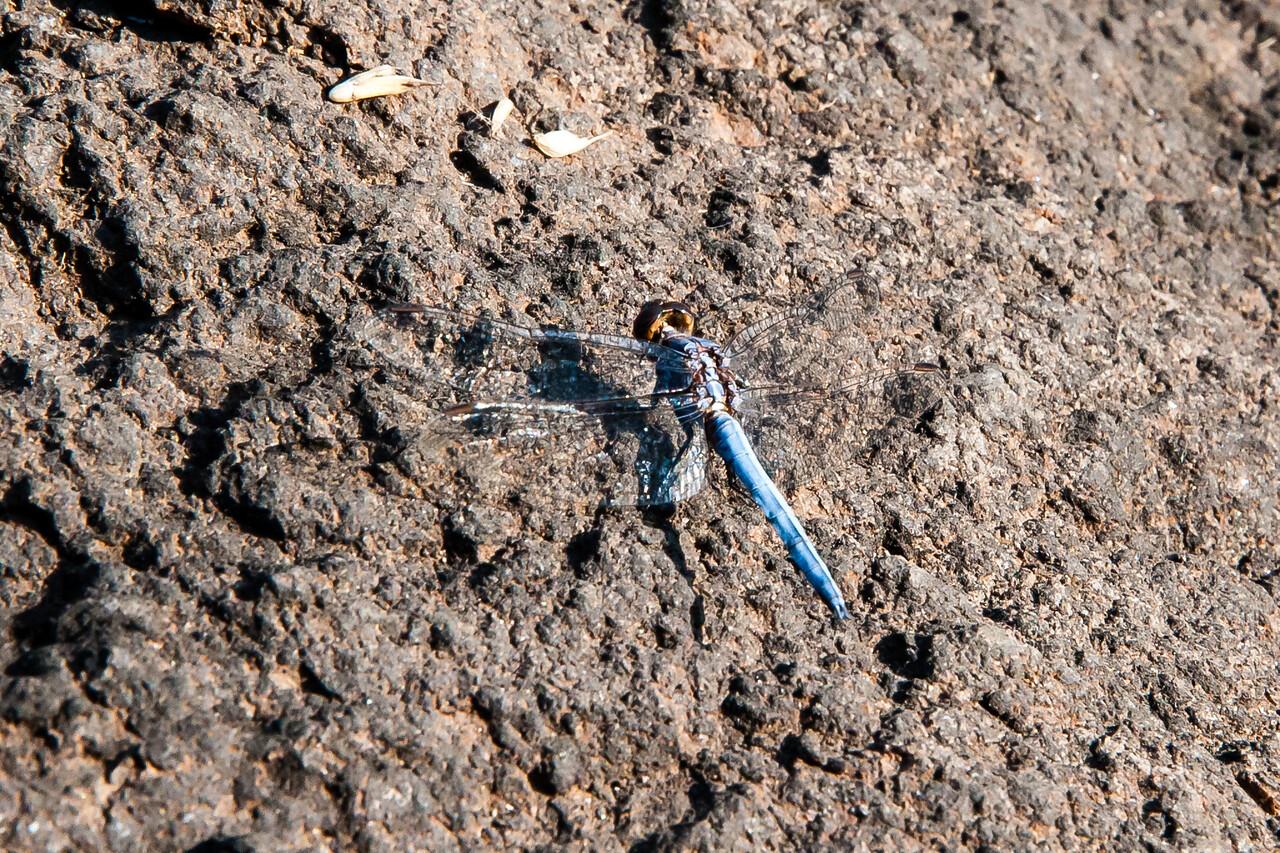 Black Stream Glider (O:Odonata; f:Libellulidae)
