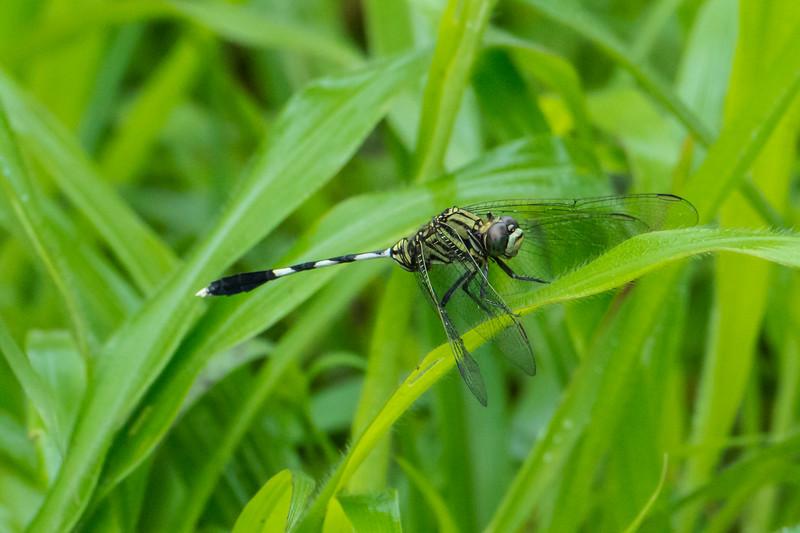 Green Marsh Hawk (Ortherum sabina) (Odonata, Libellulidae)