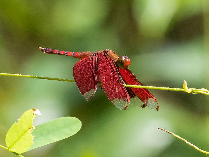 Fulvous Forest Skimmer  (neurothenis fulvia)(Odonata:Libellulidae)
