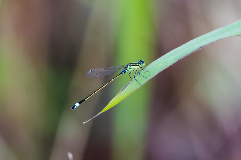Nilgiri Bambootail (Zygoptera)