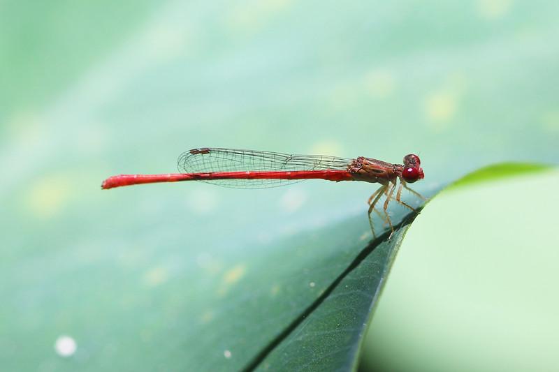 Unidentified Damselfly (Zygoptera)