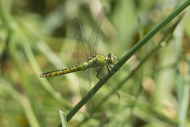 Pondhawk Dragonfly (Erythemis)