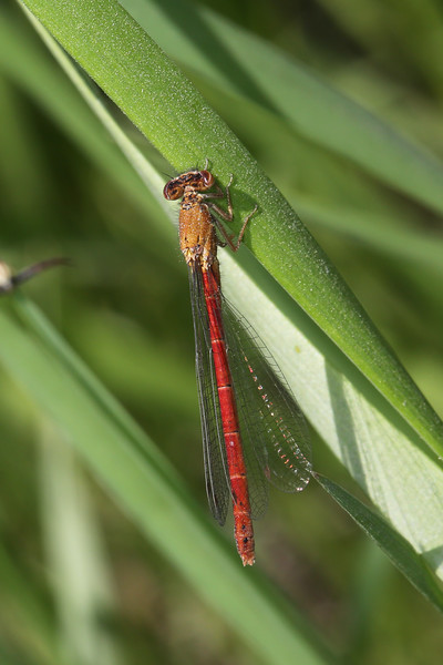 Unidentified Damselfly (Zygoptera)