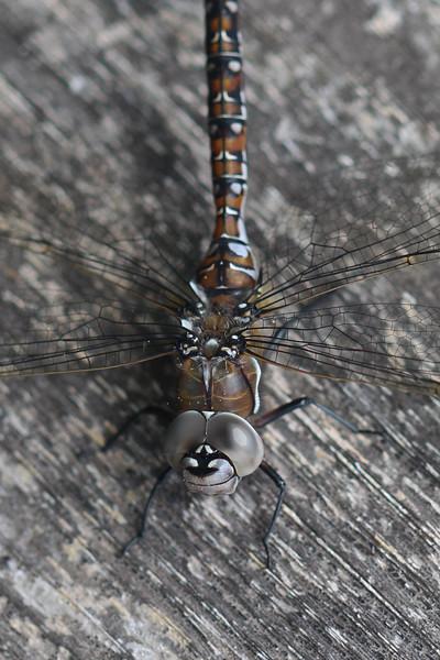 Darner Dragonfly (Aeshnidae)