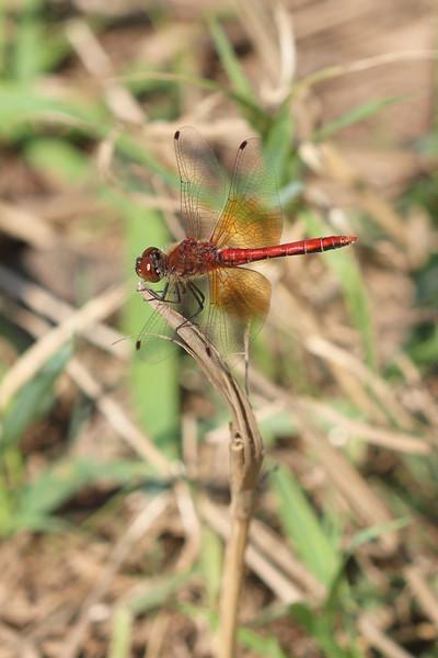 Meadowhawk Dragonfly (Sympetrum)