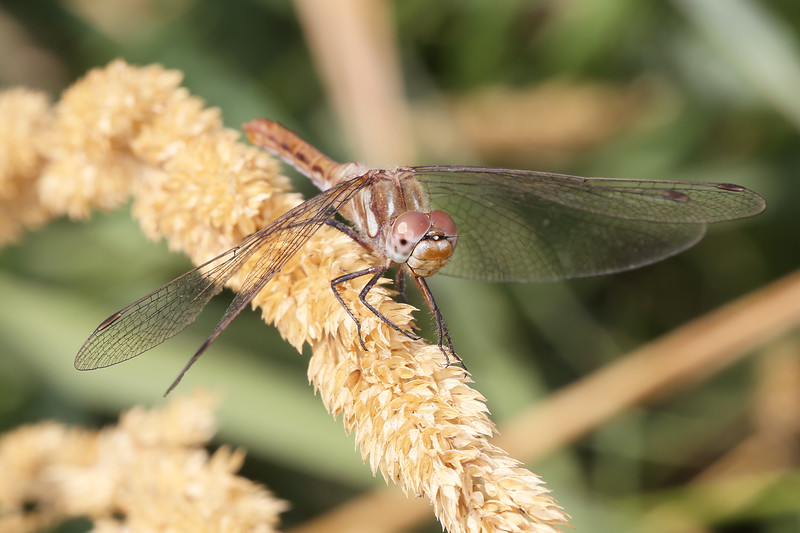 Unidentified Dragonfly (Anisoptera)