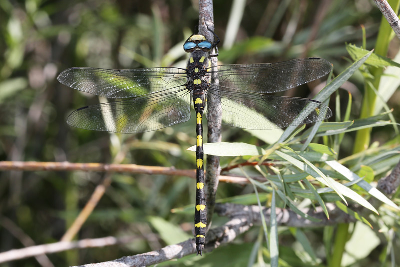 Pacific Spiketail Dragonfly (Cordulegaster dorsalis)