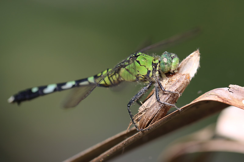 Unidentified Dragonfly (Anisoptera) Eating