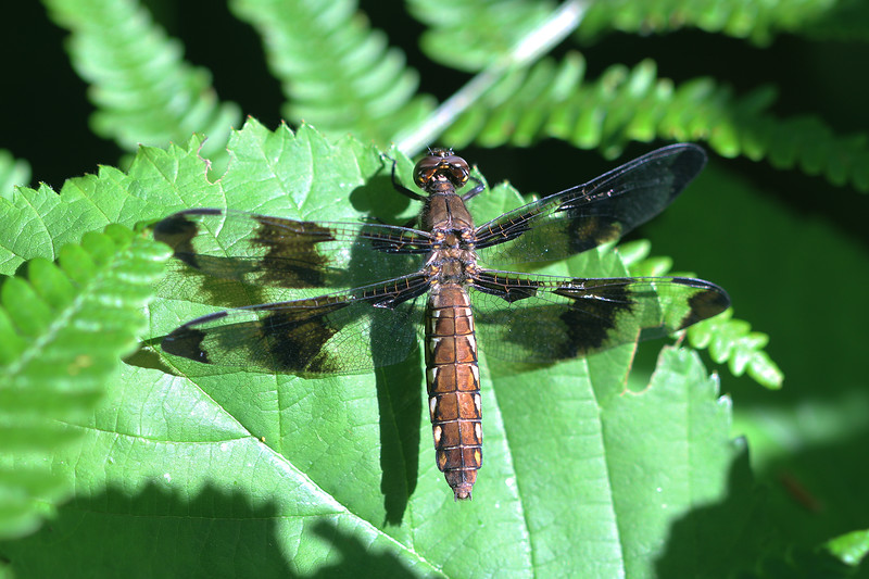 Whitetail Dragonfly (Plathemis)