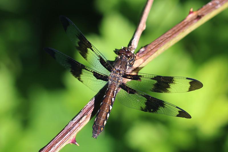Whitetail Dragonfly (Plathemis)