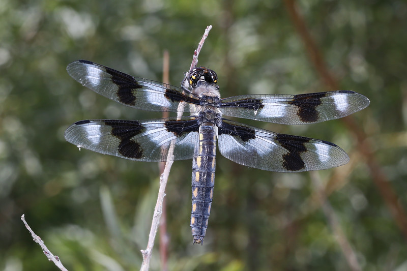 Skimmer Dragonfly (Libellulidae)