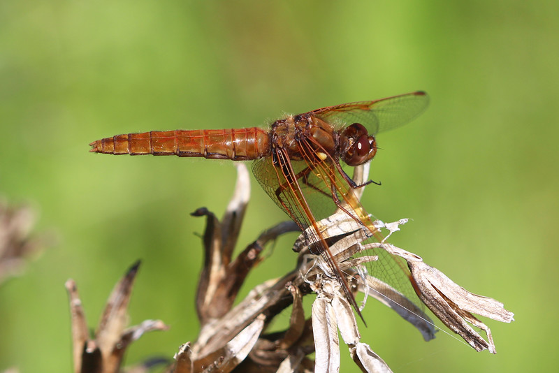Cardinal Meadowhawk Dragonfly (Sympetrum illotum)