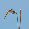 Black-tailed Skimmer - Stor Blåpil