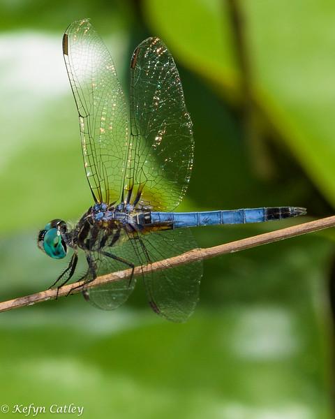 ODONATA: Libellulidae: Pachydiplax longipennis, blue dasher female