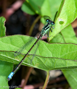ODONATA: Zygoptera: Coenagrionidae: Eastern forktail Ischnura verticalis, male