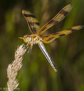 Odonata: Libellulidae: Celithemis eponina, halloween pennant