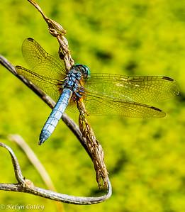 Odonata: Libellulidae: Erythemis simplicicollis, eastern pondhawk male