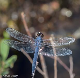 ODONATA: Libellulidae:   Libellula incesta, slaty skimmer, male