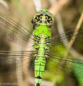Odonata: Libellulidae: Erythemis simplicicollis, eastern pondhawk female