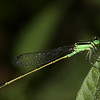 Rambur's Forktail Damselfly (male)
