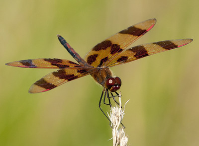 Halloween Pennant Skimmer, Wood County