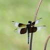 Widow Skimmer (male)