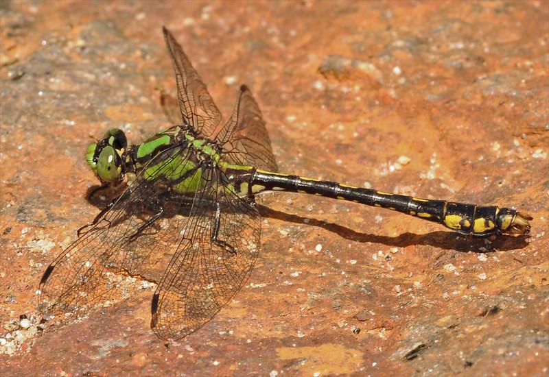 2013_05_26_Jackson_NC_Ophiogomphus mainensis_Maine Snaketail - 18