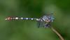 2007_09_06_Mexico_San Luis Potosi_Erpetogomphus constrictor - 1