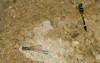 2007_09_08_Mexico_Tamaulipas_Macrothemis pseudimitans_White-tailed Sylph - 4 - 3