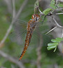 2007_09_02_Mexico_TMPS_Pantala hymenaea_Spot-winged Glider - 2