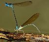2006_11_07_Mexico_Tamaulipas_Argia rhoadsi_Golden-winged Dancer