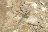 2006_11_06_Mexico_San Luis Potosi_Erpetogomphus elaps_Straight-tipped Ringtail - 1
