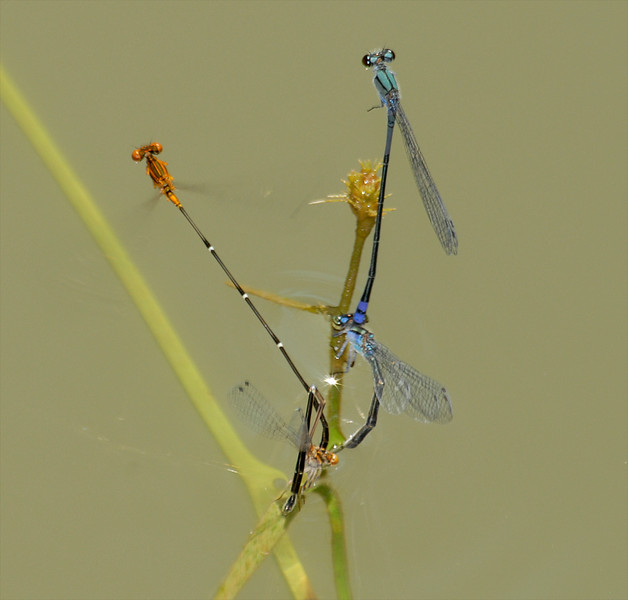2007_09_05_Mexico_Tamaulipas_Protoneura cara_Orange-striped Threadtail_Enallagma novaehispaniae_Neotropical Bluet - 2