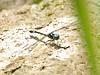 2007_09_08_Mexico_Tamaulipas_Macrothemis pseudimitans_White-tailed Sylph - 5