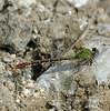 2006_11_06_Mexico_San Luis Potosi_Erpetogomphus elaps_Straight-tipped Ringtail - 4