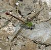 2006_11_06_Mexico_San Luis Potosi_Erpetogomphus elaps_Straight-tipped Ringtail - 2