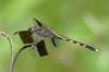 2007_09_07_Mexico_Tamaulipas_Erythrodiplax umbrata_Band-winged Dragonlet - 2