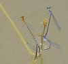 2007_09_05_Mexico_Tamaulipas_Protoneura cara_Orange-striped Threadtail_Enallagma novaehispaniae_Neotropical Bluet - 1