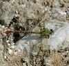 2006_11_06_Mexico_San Luis Potosi_Erpetogomphus elaps_Straight-tipped Ringtail - 3