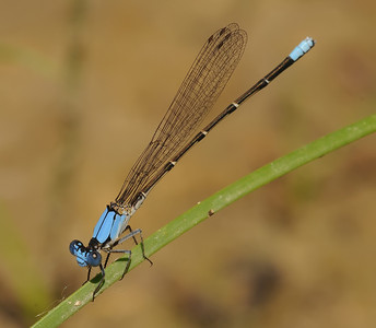 Argia apicalis (Blue-fronted Dancer), CO