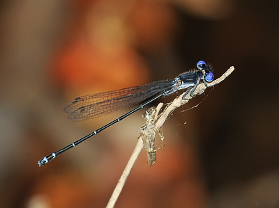 Argia translata (Dusky Dancer), GA