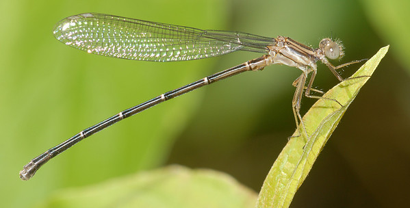 Argia moesta (Powdered Dancer), SC