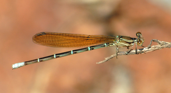 Argia rhoadsi (Golden-winged Dancer), MX