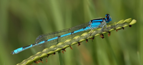 Enallagma civile (Familiar Bluet), GA