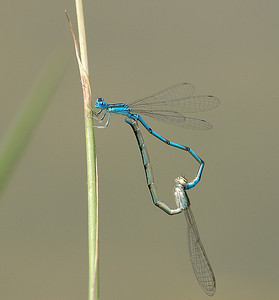 Enallagma basidens (Double-striped Bluet), GA