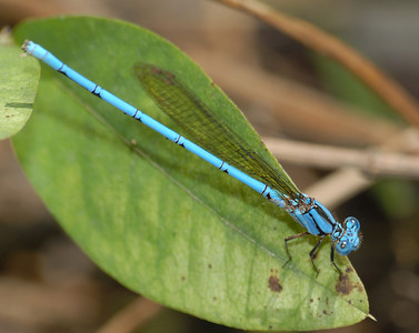 Argia westfalli (Westfall's Dancer), MX